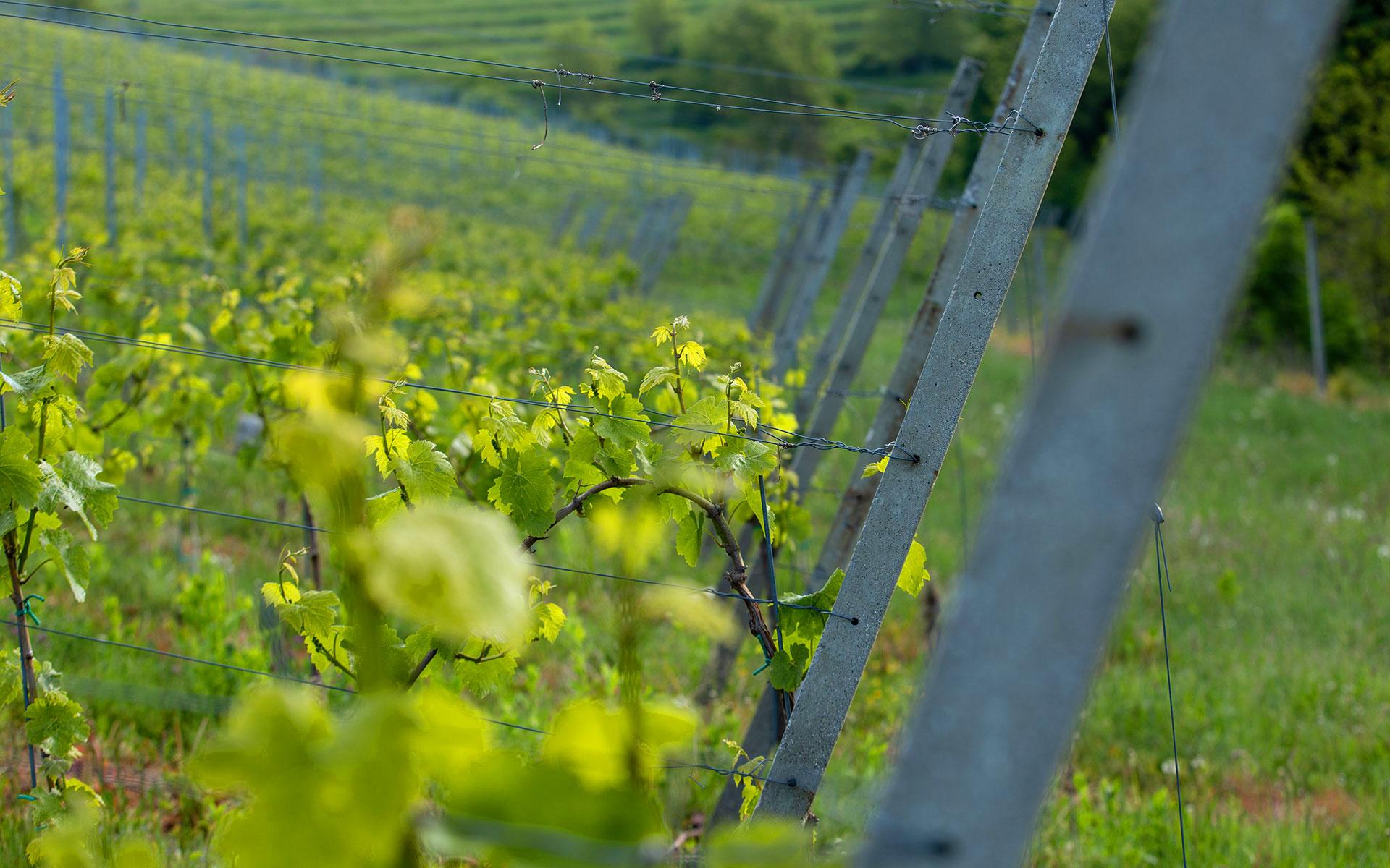 mursa_vinograd_maro-wine