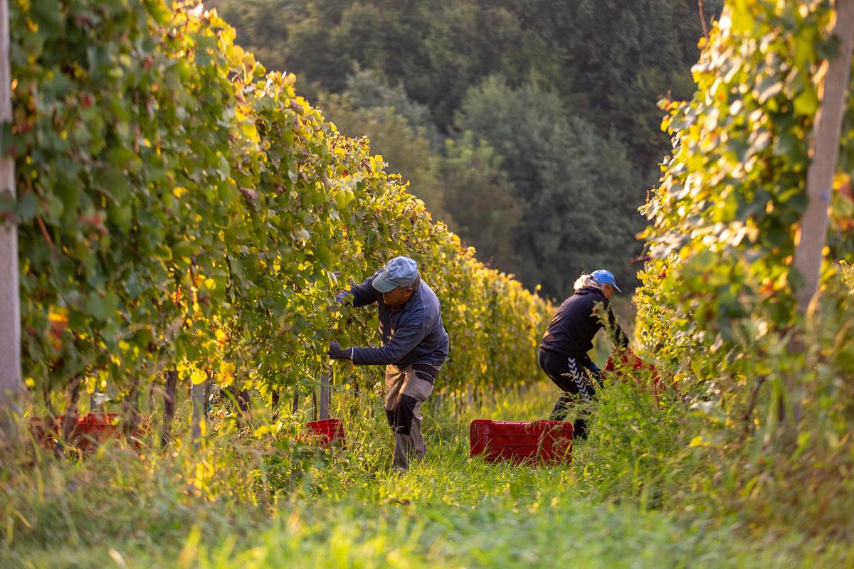 vinogradi-mursa-ozmec-studio-ma-ma-2