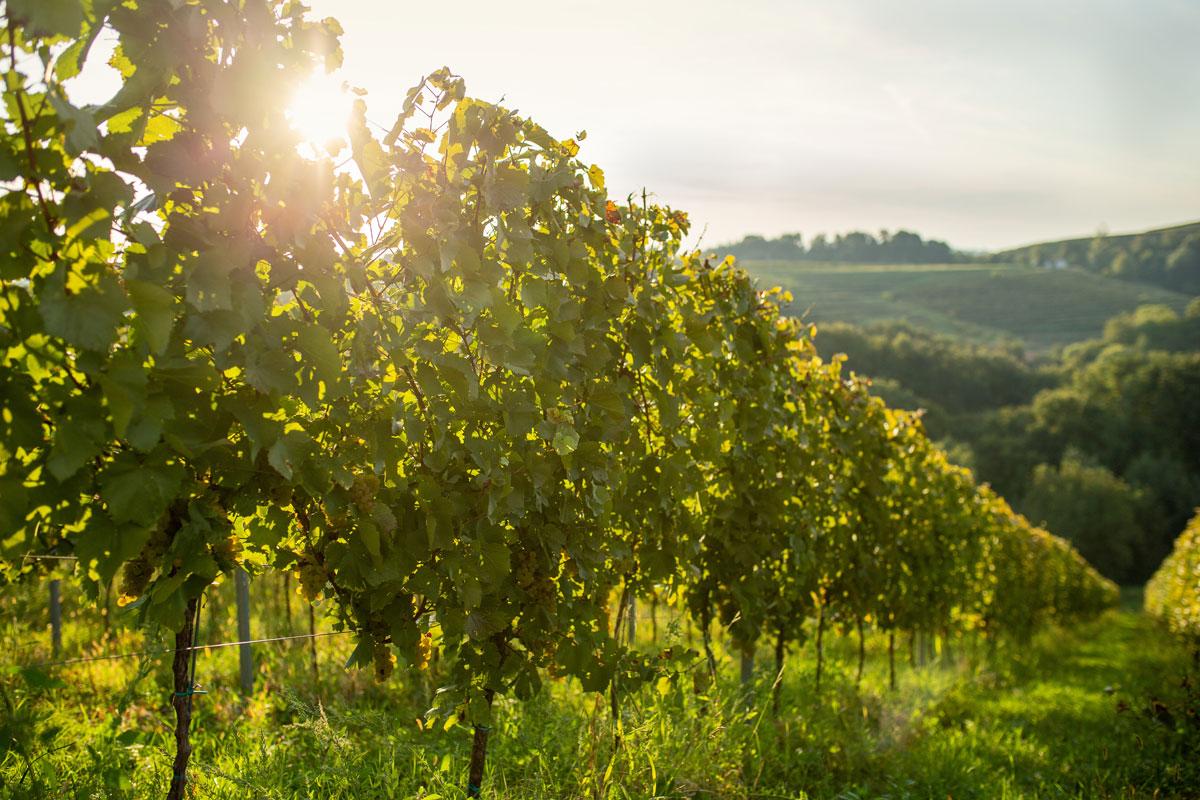 vinogradi-mursa-ozmec-studio-ma-ma
