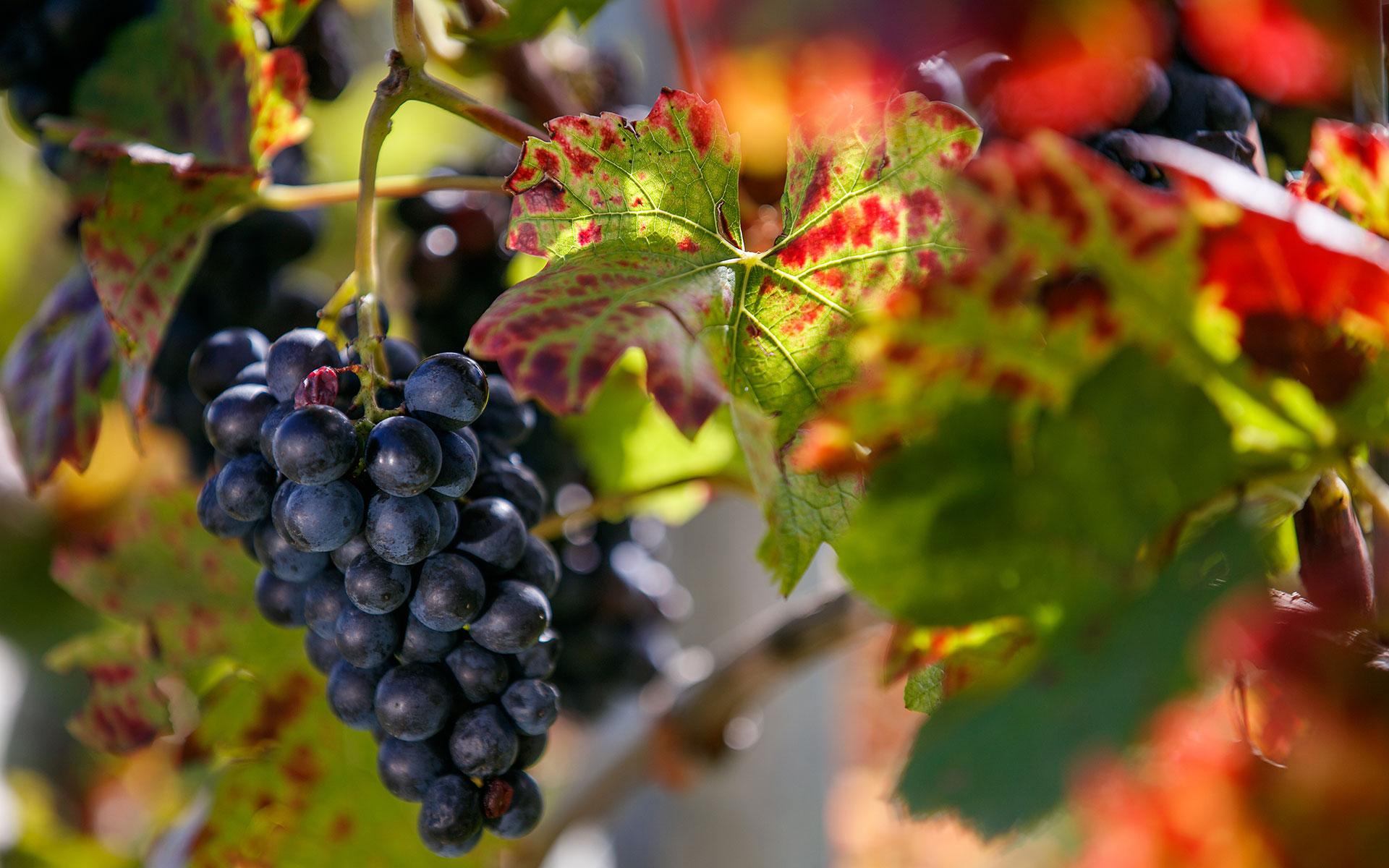 ozmec_vineyard_maro_wine_mursa_m_studio_ma-ma-marinsek_20_5