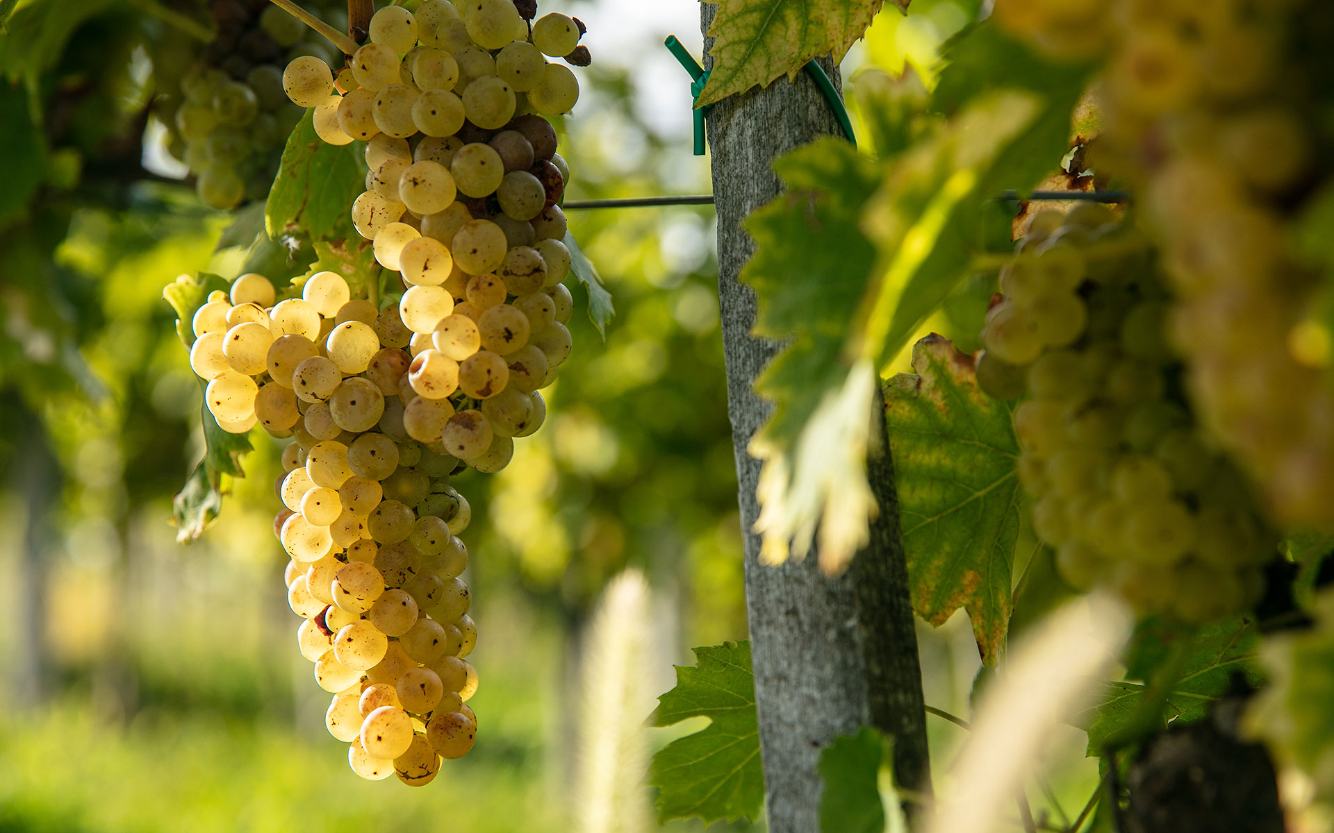 ozmec_vineyard_maro_wine_mursa_m_studio_ma-ma-marinsek_20_6