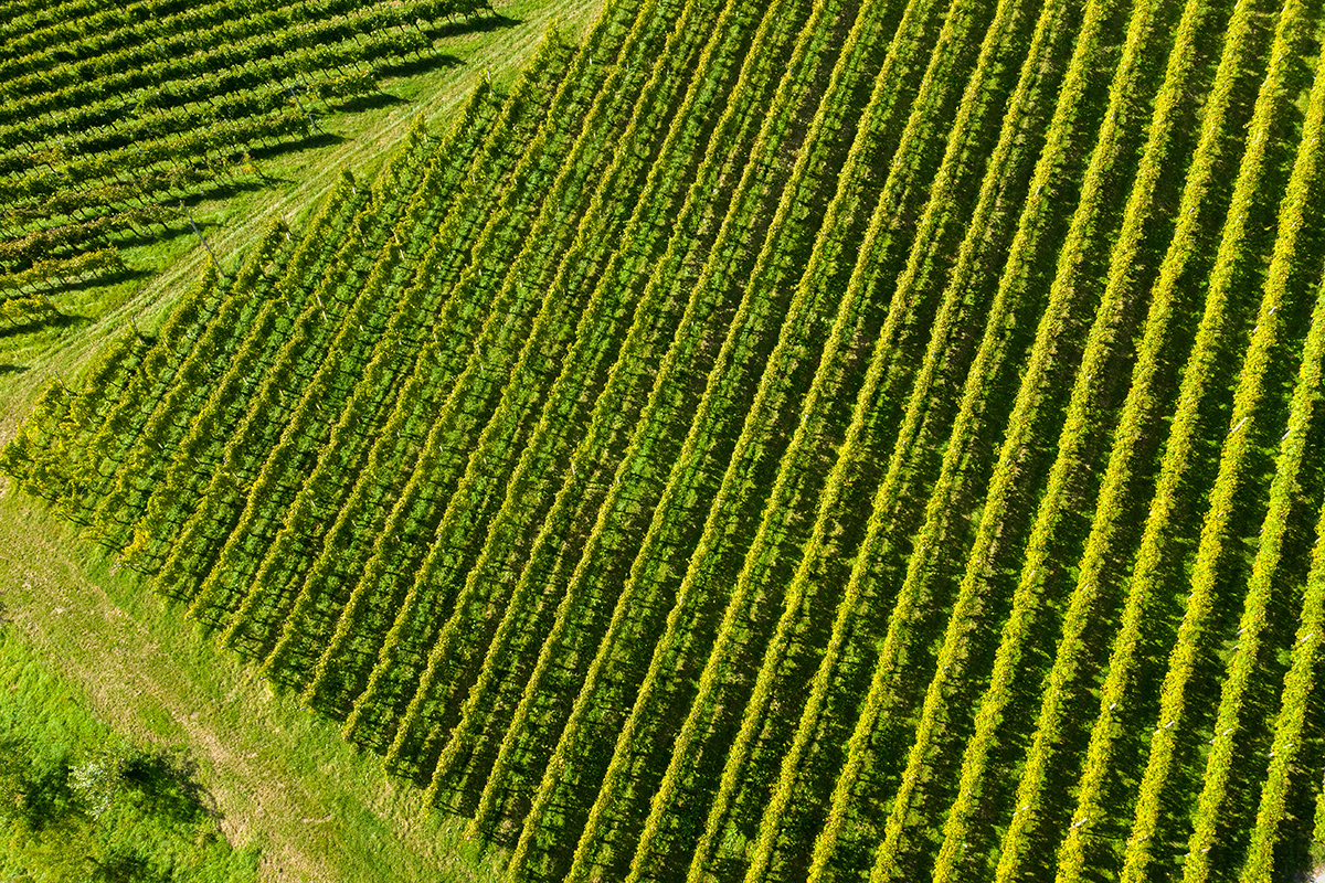 00047 vinogradi samec ozmec_maro-wine