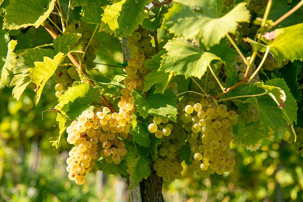 maro-wine-ma-ma-mursa-ozmec_vigrad-marinsek_vineyard_7